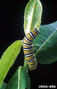 Monarch - USDA