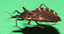 Kissing bug, Triatoma sanguisuga from Oklahoma (about 1 inch