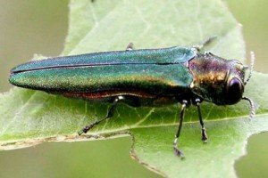 An emerald ash borer (Agrilus planipennis) feeding on an ash leaf. Photo by Debbie Miller, USDA Forest Service, Bugwood.org.
