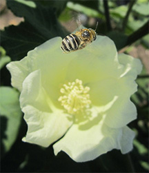 A bee pollinates a cotton flower at a Texas field site. Credit: Sarah Cusser.