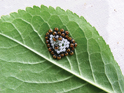 Hatching brown marmorated stink bugs with eggs.
