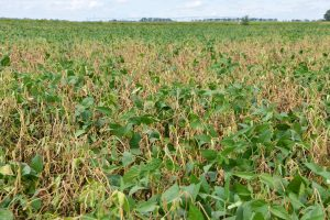 White mold in soybeans