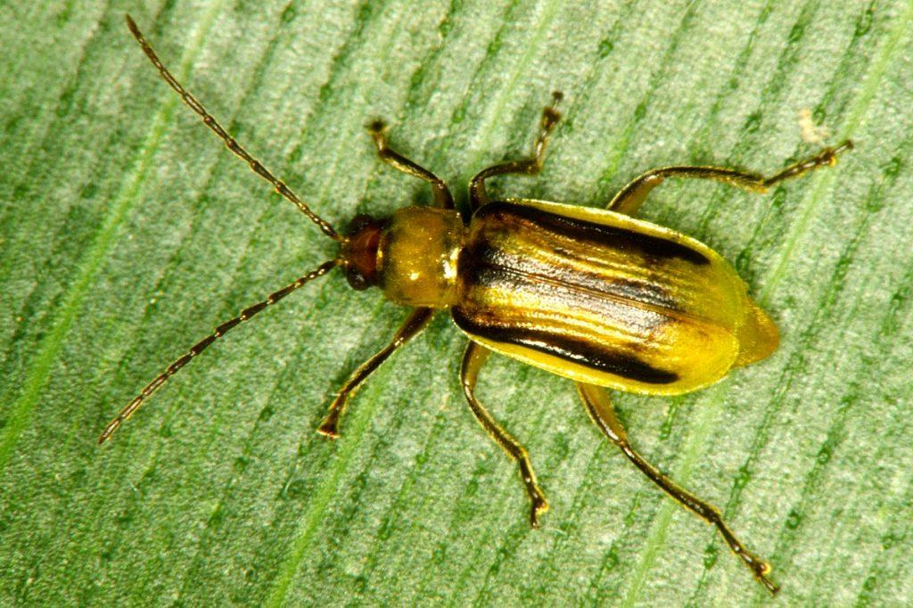 corn rootworm beetle